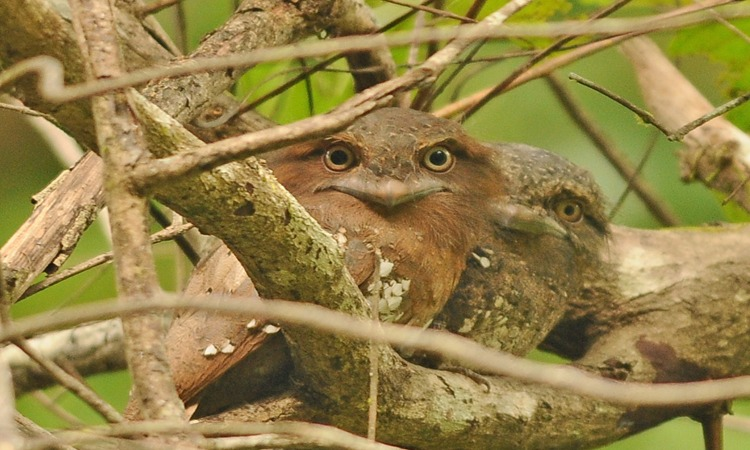 Frogmouth_edited